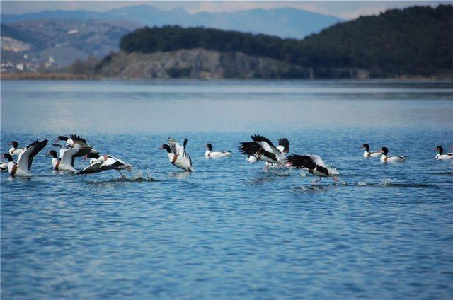 Παμβώτιδα: Εντυπωσιακές εικόνες… χηνόπαπιες «καταλαμβάνουν» την λίμνη
