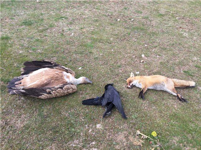 Αλεξανδρούπολη: Με δηλητηριασμένα δολώματα σκότωσαν οκτώ σπάνια αρπακτικά πουλιά