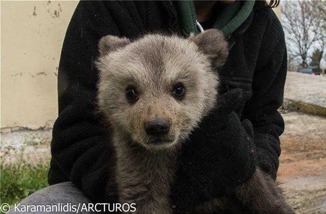 Στην αγκαλιά του Αρκτούρου τα δύο ορφανά αρκουδάκια, Μπράντλεϊ και Κούπερ