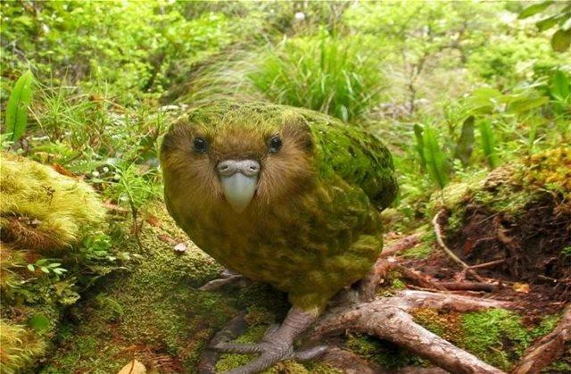 Σπάνιοι «παχουλοί» παπαγάλοι, στο χείλος της εξαφάνισης, έσπασαν φέτος κάθε ρεκόρ ζευγαρώματος