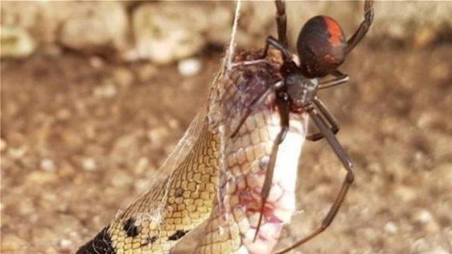 Τρομακτική μονομαχία κόκκινης αράχνης με φίδι με συγκλονιστικό φινάλε