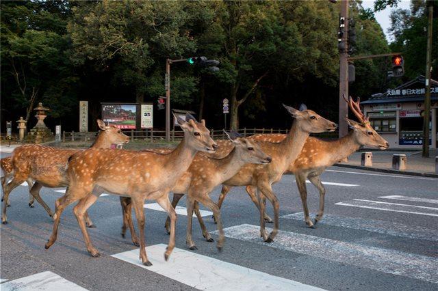 Ιαπωνία: Ελάφια βολτάρουν στους δρόμους και χαζεύουν βιτρίνες