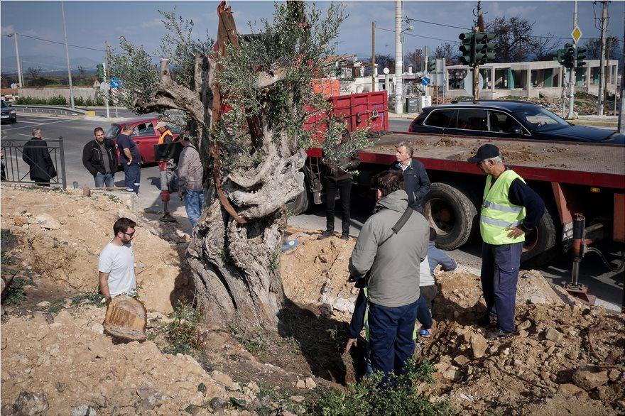 Μεταφύτευση ελαιοδέντρων στις πυρόπληκτες περιοχές της Αττικής