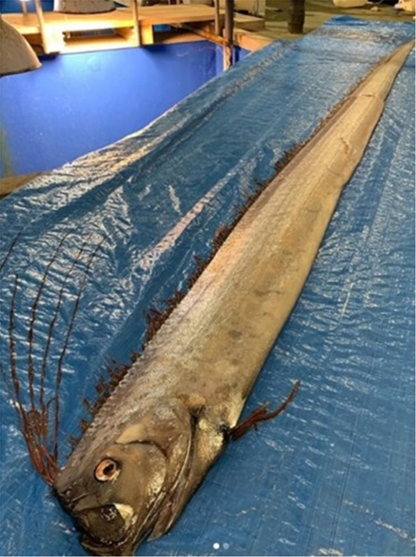 oarfish2
