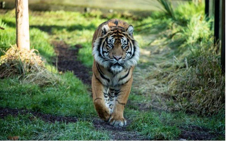 tigris-asim-ena