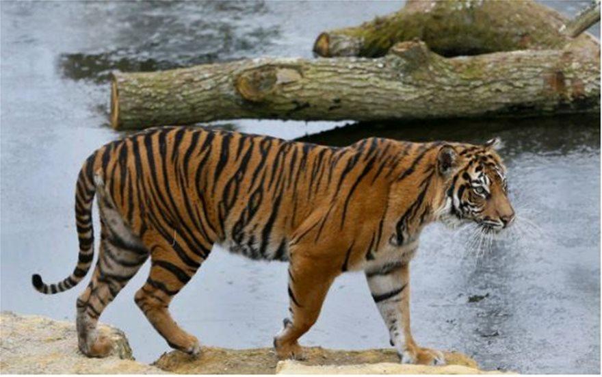 tigris-melati-ena
