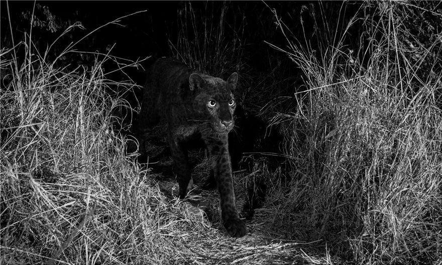 black-leopar1