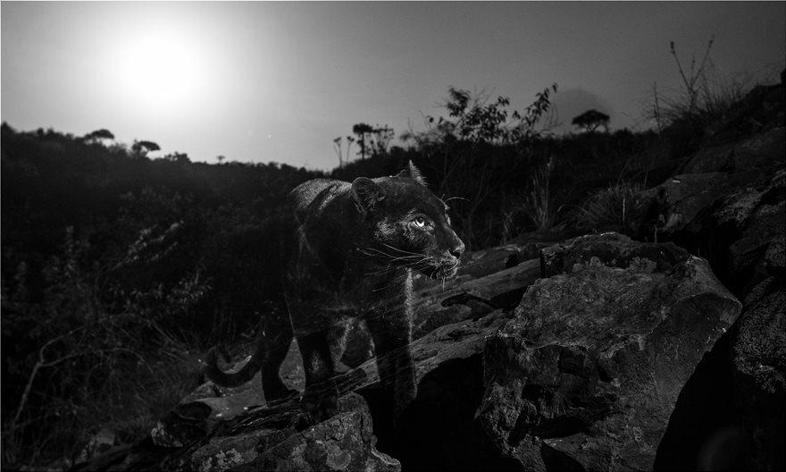 black-leopar2