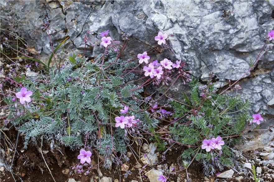 Erodium_absinthoides_subsp__quicciardii_9015