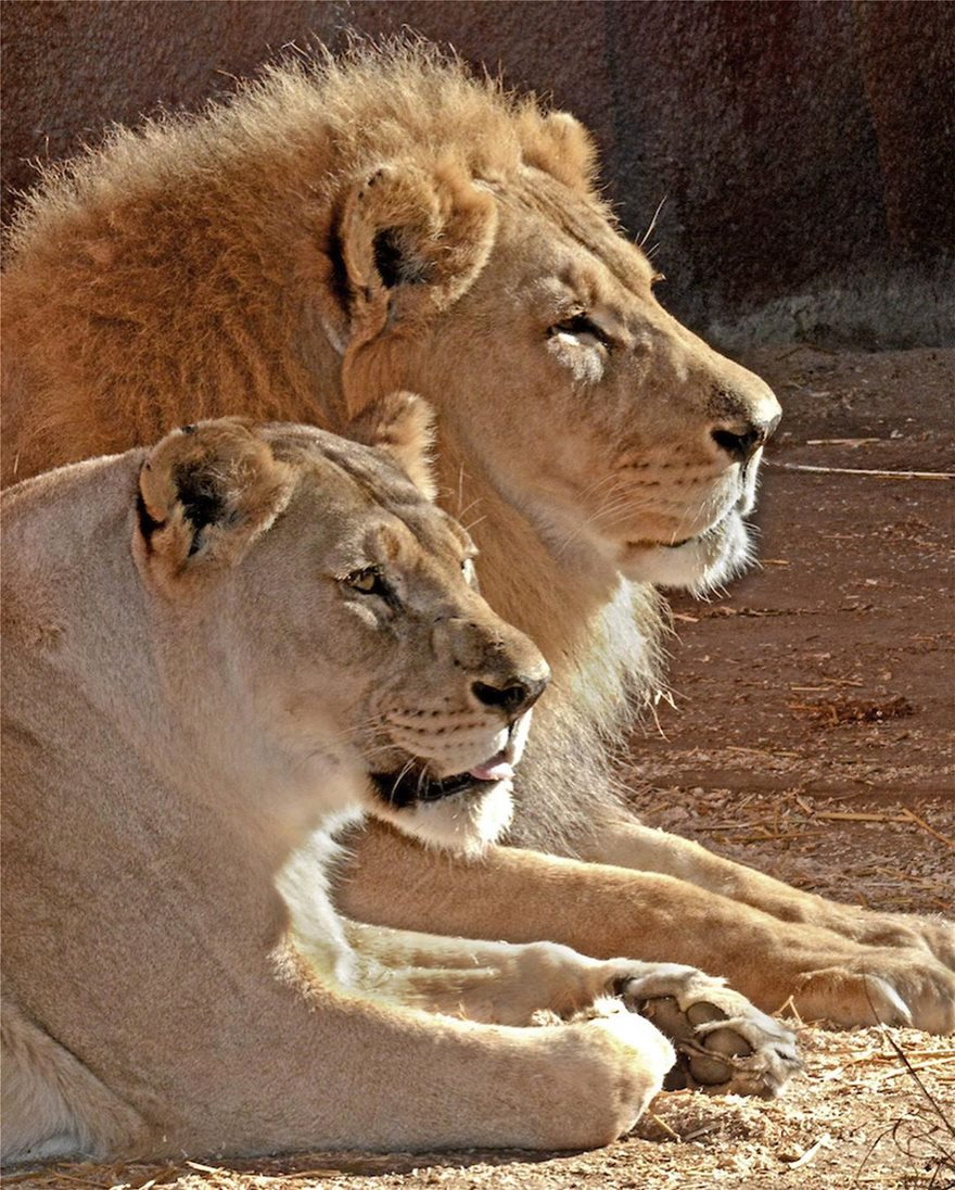lions-5