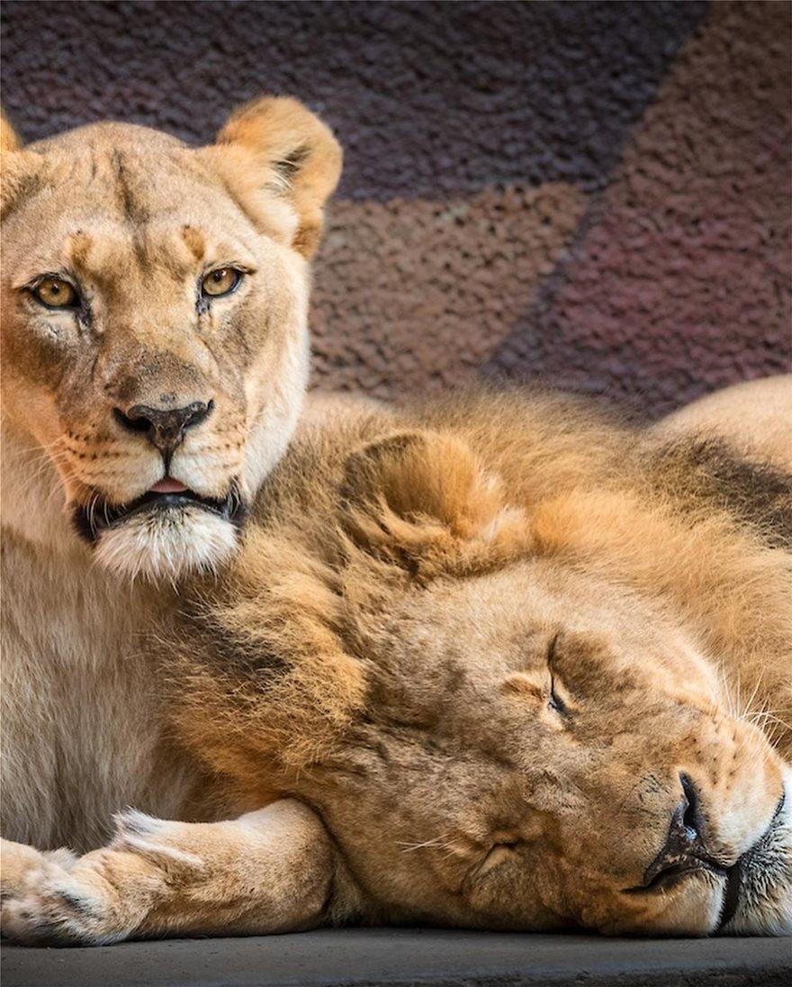 lions-6